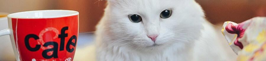 6 races de chats blancs