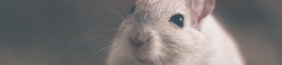 Adopter des souris domestiques