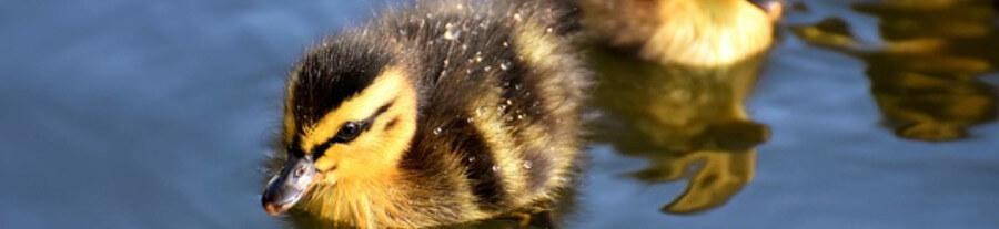 Le pain, mauvais pour la santé des canards
