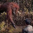 Indonésie : un orang-outan tend sa main pour venir en aide à un homme qu'il croit en danger