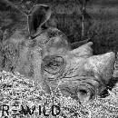 Un rhinocéros noir meurt de faim et de fatigue dans un zoo français