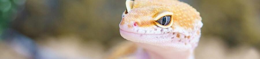 Quel reptile choisir pour un petit terrarium ?