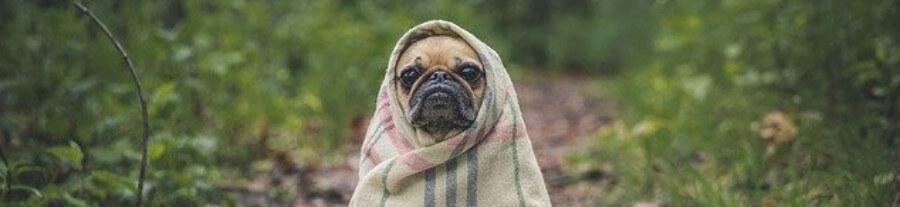 Dermatite atopique chez les chiens