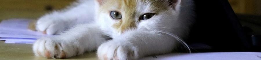 Pourquoi les chats aiment se coucher sur du papier ?