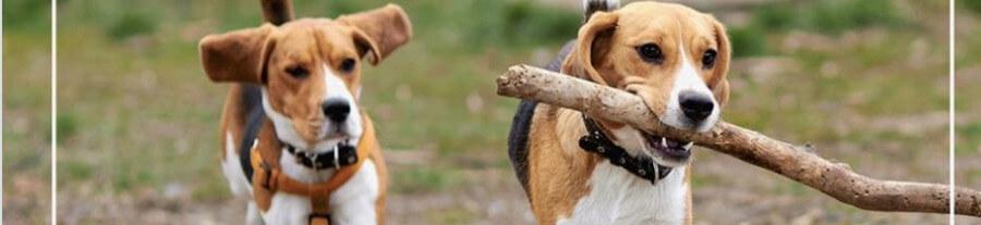 L'association GRAAL vient de sauver 80 animaux de laboratoire qui allaient être euthanasiés