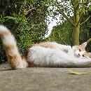Pourquoi les chats lèvent-ils la queue quand on les caresse ?