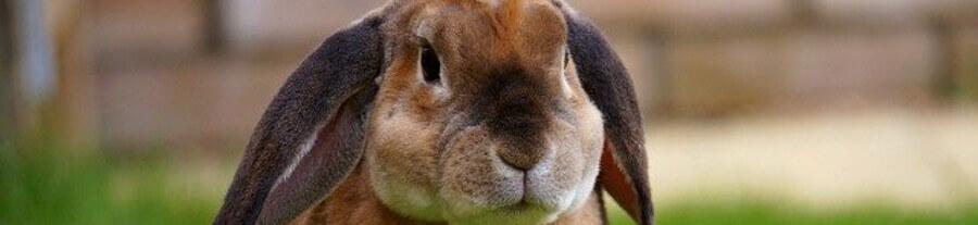 Comment savoir si un lapin est triste ?