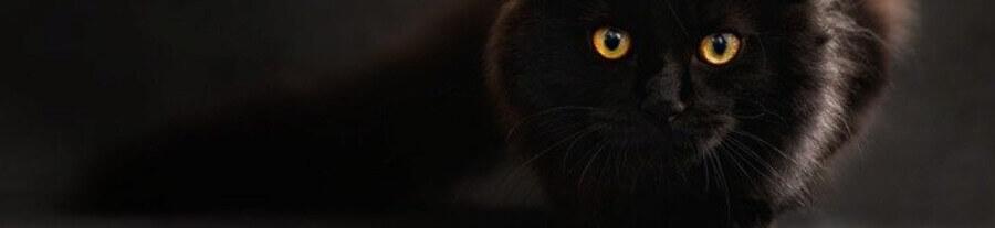 Les plus belles races de chats noirs