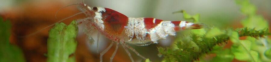 Quels poissons sont compatibles avec des crevettes ?