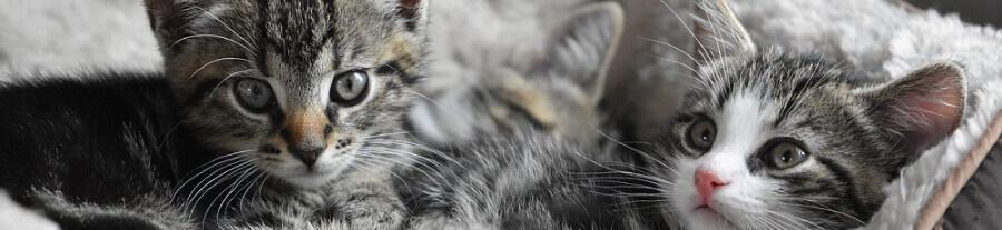 Adopter un chat mâle ou femelle : comment choisir ?