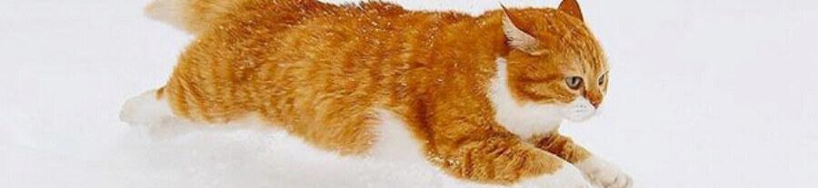 Le chat Ginger et ses splendides promenades dans la neige