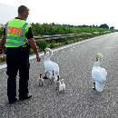 La police allemande ferme l'autoroute pour sauver une famille de cygnes