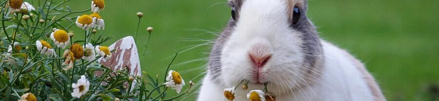 Nourrir son lapin : les aliments interdits