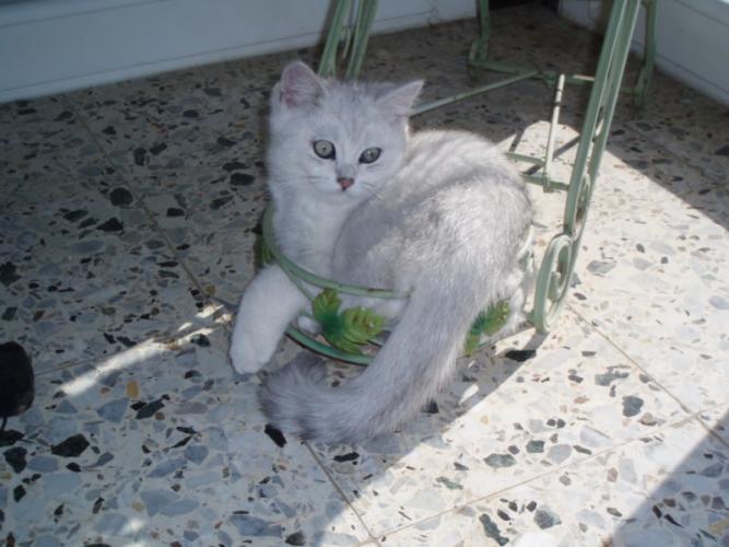Courbe du poids d'un chaton British