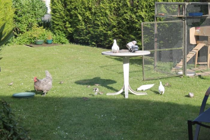 photo poule avec pigeons
