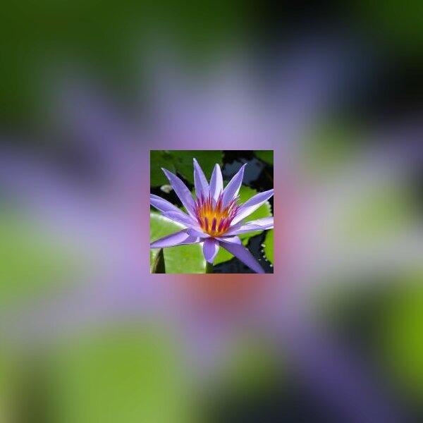 Festival du lotus aux jardins des Martels 2.jpg