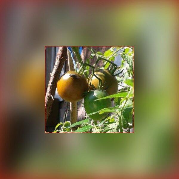 cueillette tomates 1.jpg