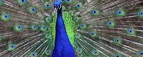 peacock1tim
