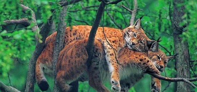 wildcat1tm