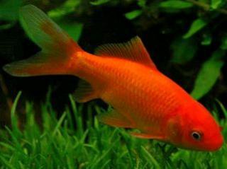 Carassius auratus (poisson rouge, voile de chine, telescope, tête de lion...) 139392poisson_rouge