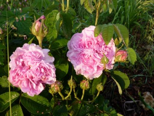 mes roses 2015 152559P1000019_modifier