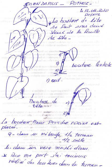 Les pothos ou scindapsus 157549Bouturage1