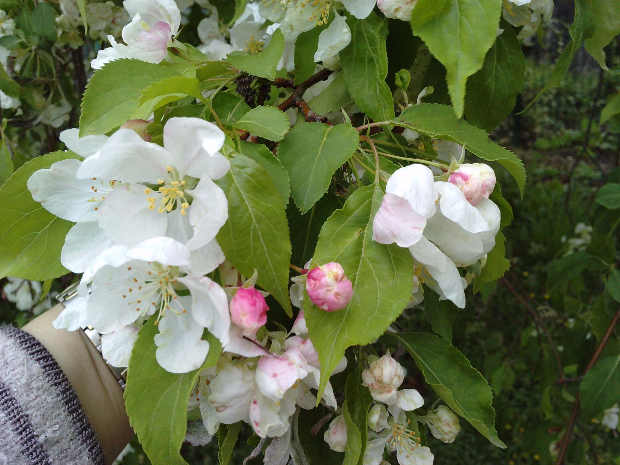 Quelques arbustes en fleurs  189590MALUSpumilaRedJadele310311