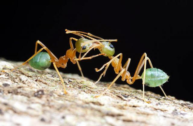 Mes fourmis 204980Oecophylla_smaragdina1