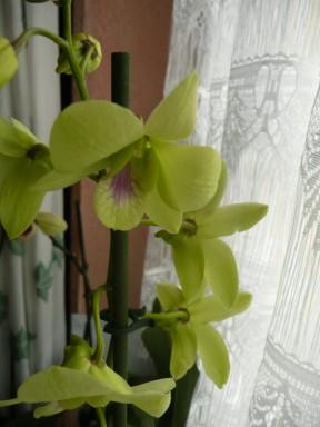 les soldes chez les orchidées 223513P1040277___