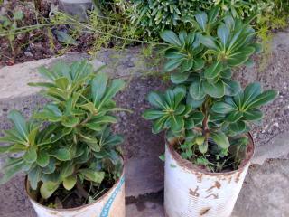 Pittosporum- un vert tendre  et une belle floraison 232277Photo014jpg