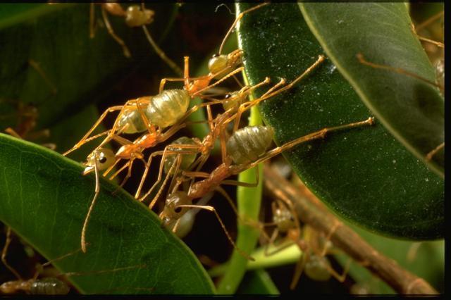 Mes fourmis 288661Oecophylla_smaragdina2