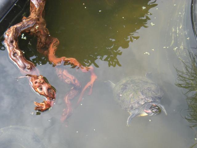 bassin pour tortue d eau 288681DSCN1356