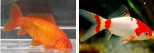 Carassius auratus (poisson rouge, voile de chine, telescope, tête de lion...) 294757comete