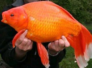 Bassin poisson rouge japonais for Poisson rouge japonais