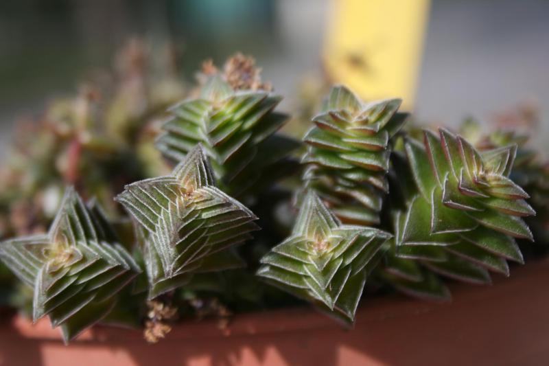Crassula capitella ssp thyrsiflora 405810crassula_capitella_ssp_thyrsiflora_detail