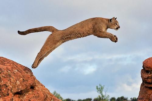 Petit Lion [REUSSI] 418103cougar01
