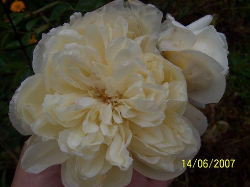 mes roses 2015 428038fleurs_du_jardin_305___