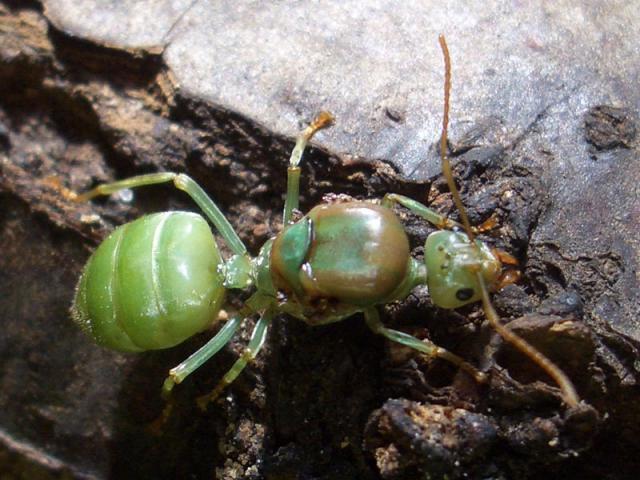 Mes fourmis 433184Oecophylla_smaragdina
