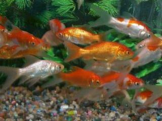 Carassius auratus (poisson rouge, voile de chine, telescope, tête de lion...) 456770assort.