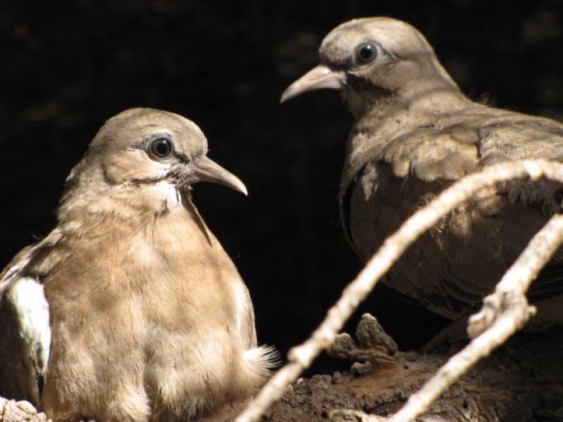 Evolution en image d'une nichée et expérience d'élevage (M. melanoptera). 504947ailes_noires_20j_9