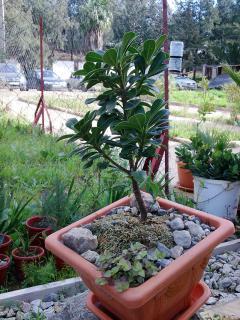 Pittosporum- un vert tendre  et une belle floraison 522916A1Pittosporumjpg
