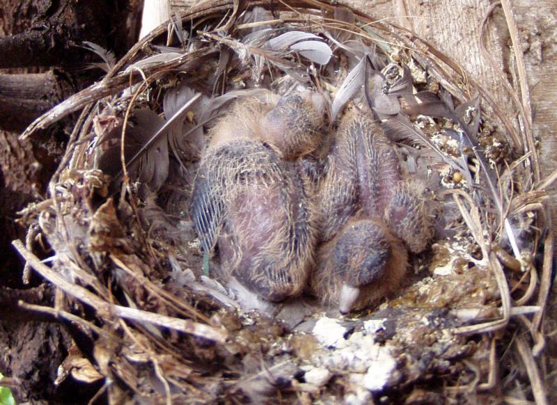 Evolution en image d'une nichée et expérience d'élevage (M. melanoptera). 526851naissance_8_j_6zoom