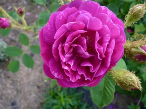 mes roses 2015 578322fleurs_de_printemps_269_modifier