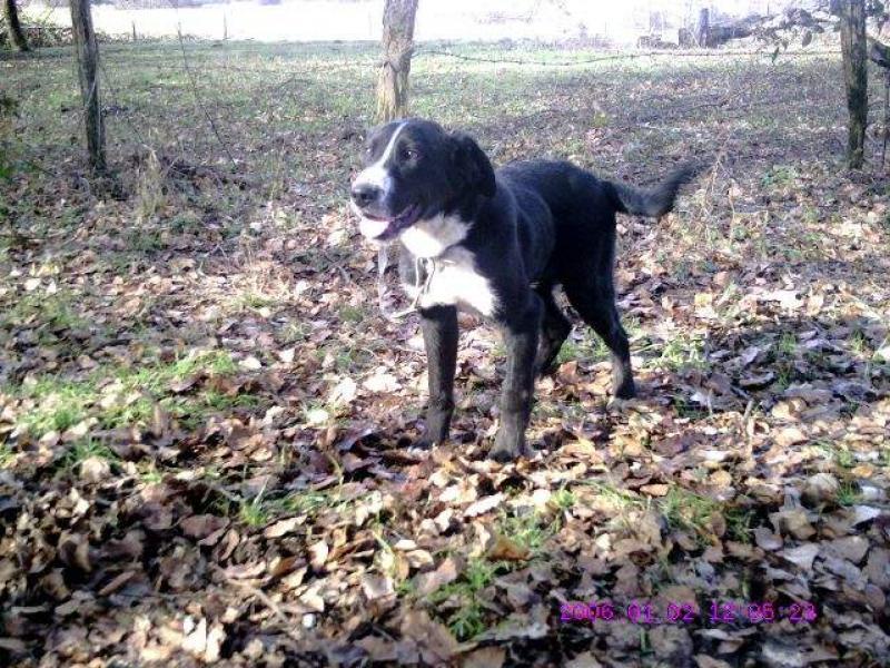Pacha - 6 mois - Beauceron Croisé Bouvier Bernois - (39) 598638bv000014