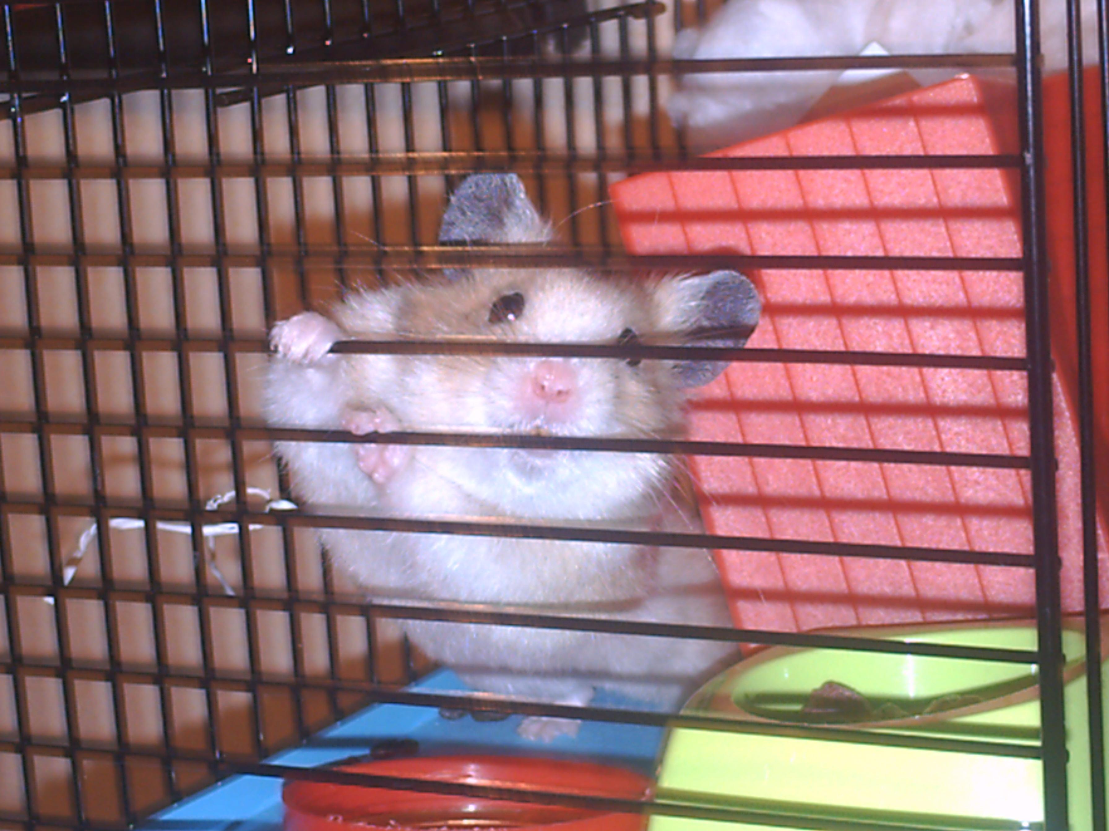 [ESPÈCE] Le hamster Syrien 611866PICT0488