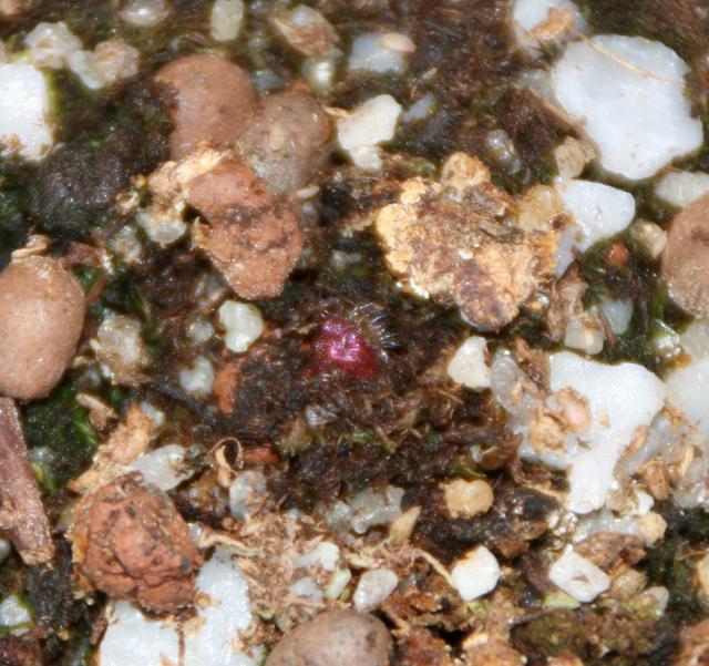 D.Erythrorhiza ssp Squamosa Sand Form 629295Drosera_Erythrorhiza_ssp_Squamosa_Sand_Growing_Form_640x480_15_04_10