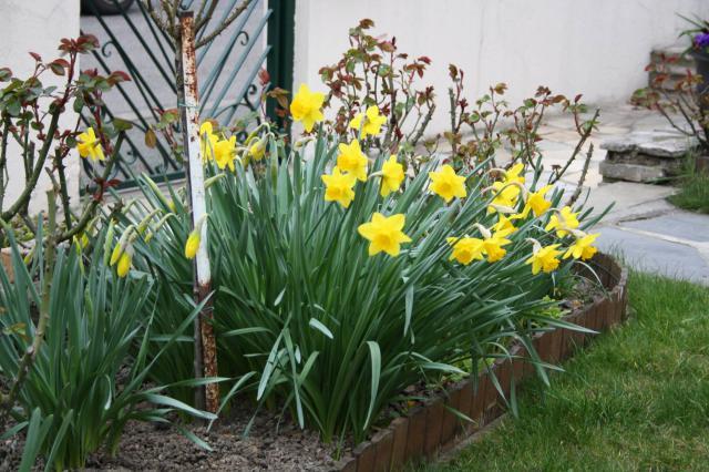 Quelques floraisons 636226jonquilles
