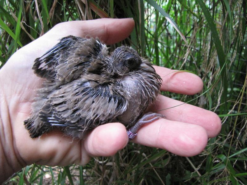 Evolution en image d'une nichée et expérience d'élevage (M. melanoptera). 636730melano_baguage