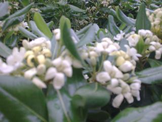 Pittosporum- un vert tendre  et une belle floraison 671847PITfloraison11jpg
