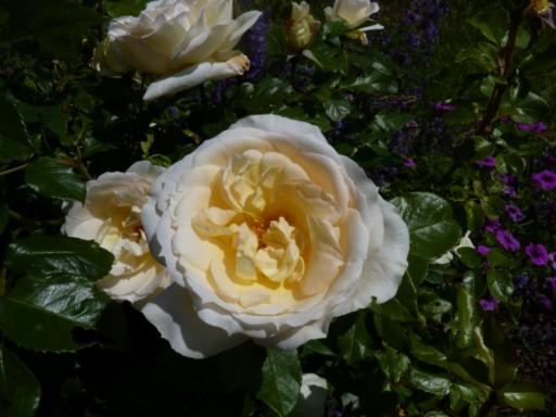 mes roses 2015 706293fleurs_de_printemps_230_modifier